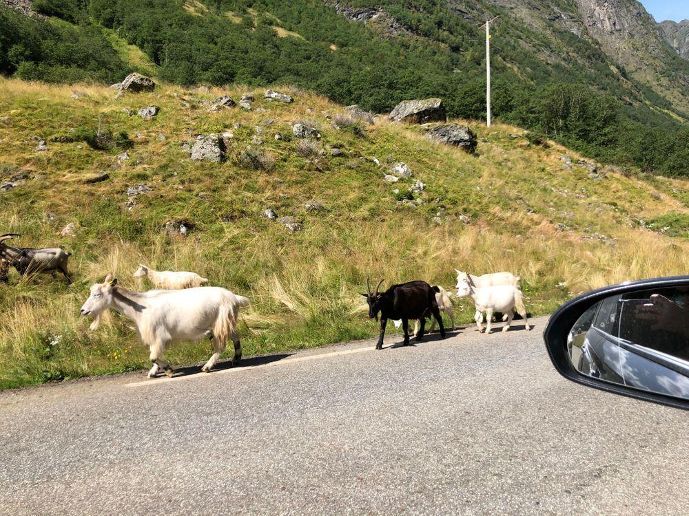 Chèvre Undredal Norvège