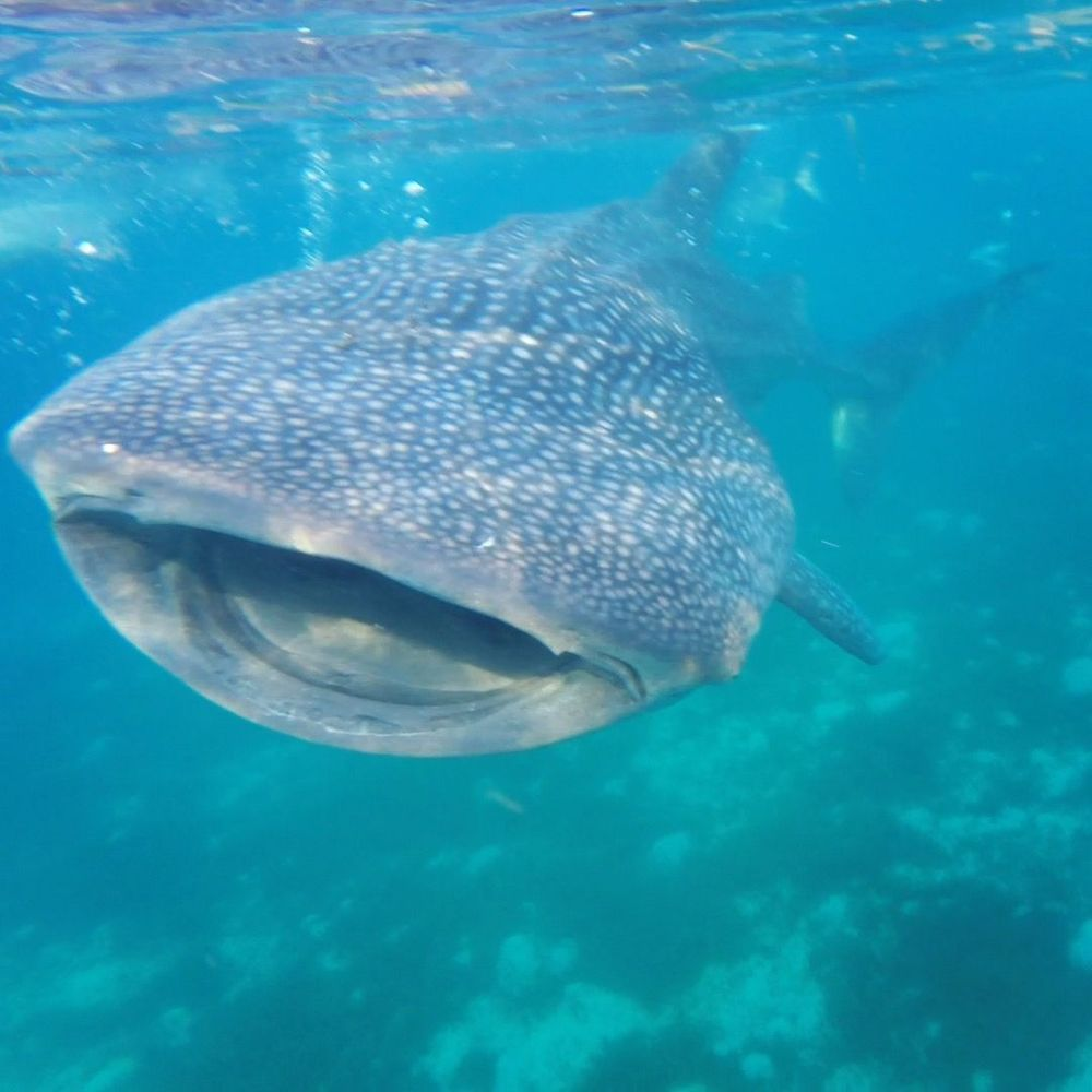 requins baleines philippines que faire aux philippines cebu