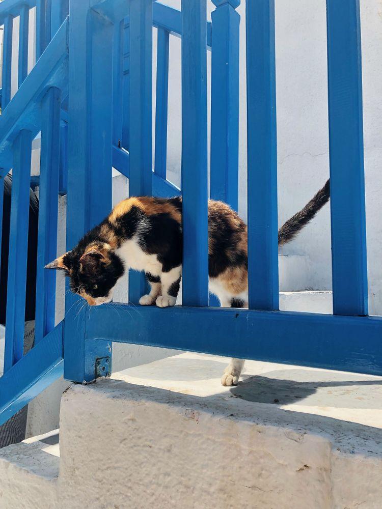 chat Mykonos cat
